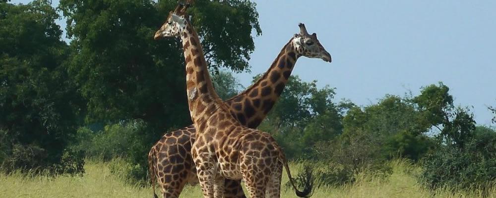 Uganda Wildlife Safari