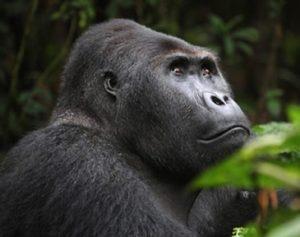 Lowland Gorilla Trekking Congo