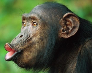 3 Days Chimpanzee Tracking Tour