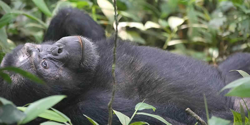 Gorilla Trek & Chimpanzee Viewing at Ngamba Island