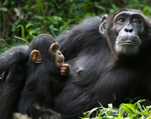 4 Days Chimpanzee Safari Tour