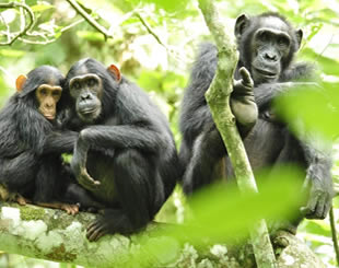 2 Days Chimpanzee tracking Tour