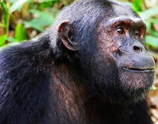5 Days Chimpanzee Tracking & Wildlife Tour