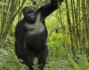 6 Days Double Gorilla Trekking Tour