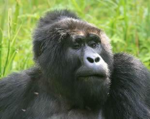 4 days Gorilla & Chimpanzee Tour