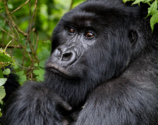 1 Day Uganda Gorilla Tour