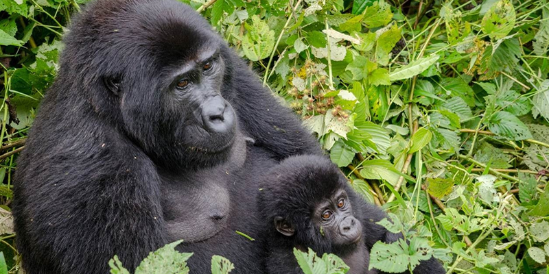 Useful Gorilla Trekking Information