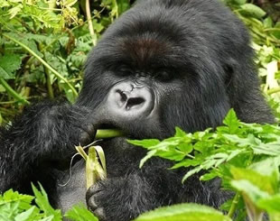 7 Days Gorilla Trekking Tour
