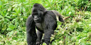 1 Day Gorilla Trek Rwanda