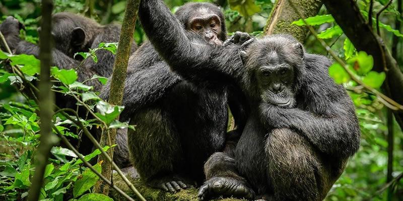 5 Days Gorilla & Chimpanzee Trek Uganda