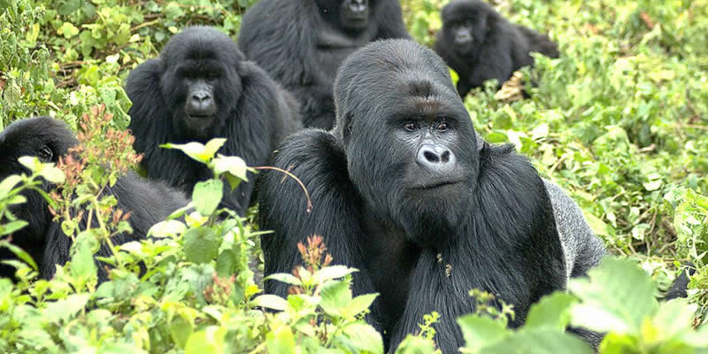 5 Days Gorilla Trekking Safari Tour