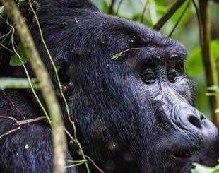 12 Days Classic Uganda Safari